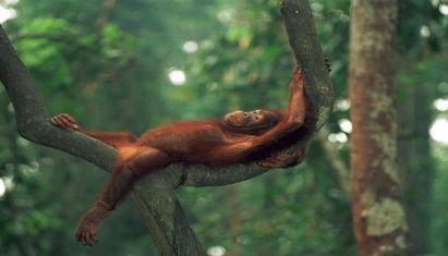 Sepilok Orangutan Rehalitation Centre + Bornean Sunbear Conservation Centre  +  Sandakan City
