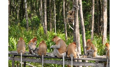 Sepilok Orangutan Rehabilitation + Bornean Sunbear Conservation Centre + Labuk Bay