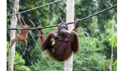Full Day Sepilok Orangutan + Sunbear & City Tour (Min 2 Pax)